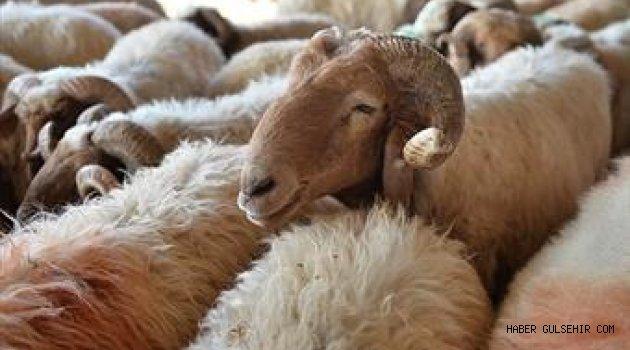 300 Başa Kadar Damızlık Koyun İçin Ön Başvurular Başladı