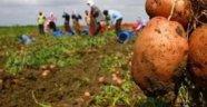 Patates Siğili Hastalığı Görülen Alanlara Ürün Destekleme Ödemesi Başladı