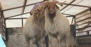 Genç Çiftçiler Projesi Hayvanları Dağıtılmaya Başlandı.